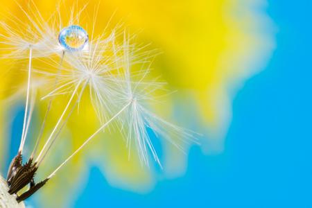 Macro of a dew drop in dandelion seeds with flower relfection