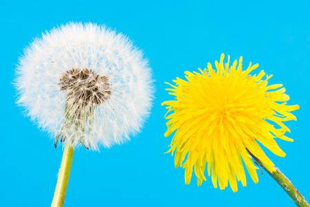 blowball: Macro of a yellow dandelion and blowball with seeds