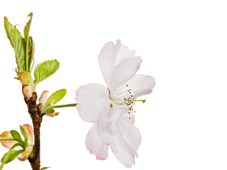 Macro of an isolated white cherry blossom