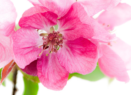 Macro of isolated pink blossoms of an apple tree Stock Photo