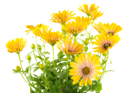 osteospermum: Closeup of isolated yellow Osteospermum flower blossoms Stock Photo