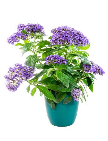 Isolated potted garden heliotrope flower (Heliotropium arborescens) Stock Photo
