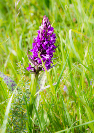 majalis: Closeup of a march orchid flower (Dactylorhiza majalis) in a meadow