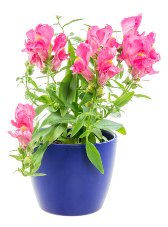 blue dragon: Isolated potted blue dragon flower (Antirrhinum)