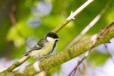 tit bird: Closeup of a young great tit bird sitting on a tree branch