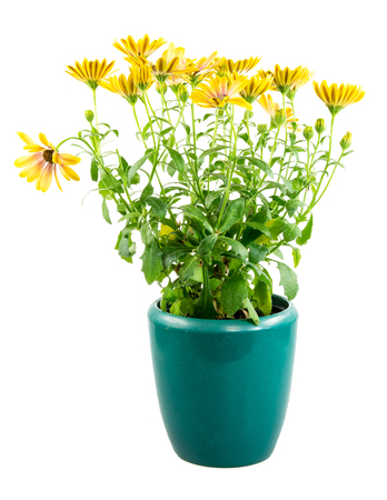 osteospermum: Closeup of Isolated potted yellow Osteospermum flower