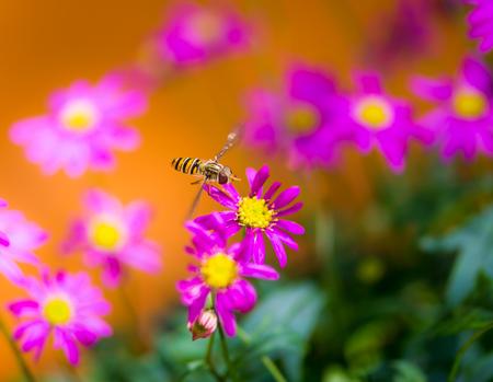 Hoverfly flying to a magenta daisy flower blossom Stock Photo