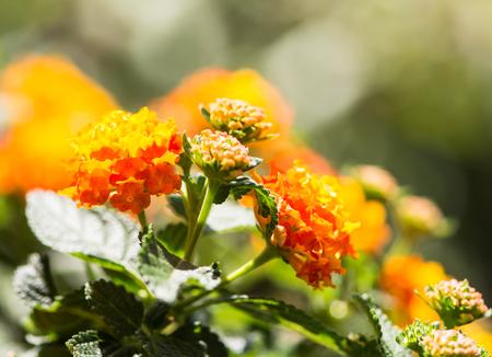lantana: Closeup of an orange blooming Lantana camara flower with selective focus