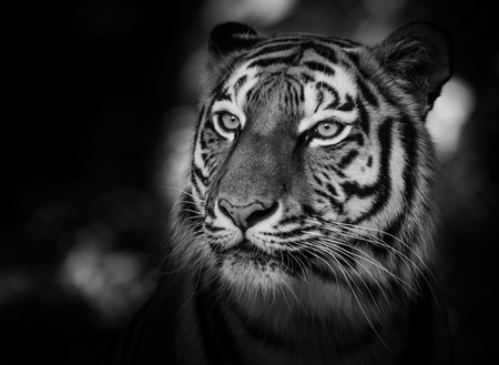 siberian tiger: Portrait of a siberian tiger (Panthera tigris altaica) in black and white