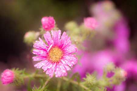 waterdrop: Macro of raindrops on a pink aster flower blossom