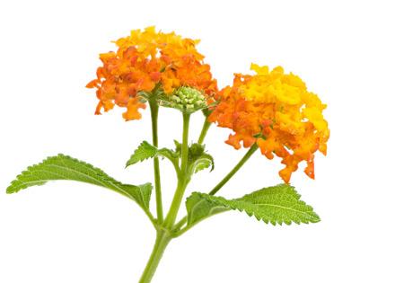 lantana: Closeup of orange isolated lantana flower blossoms Stock Photo