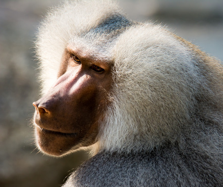 Portrait of a baboon monkey (Papio hamadryas) Stock Photo