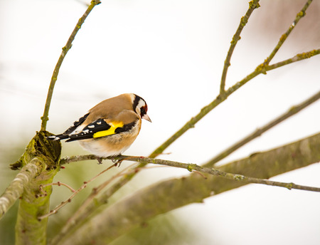European goldfinch bird (Carduelis carduelis) sitting on a tree