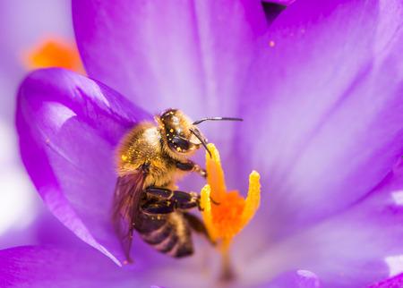Honeybee pollinating a purple crocus flower in spring