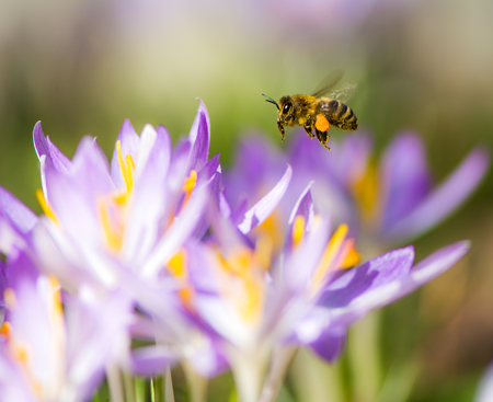 Flying honeybee pollinating a purple crocus flower in spring