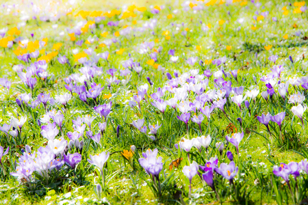 Spring background with various crocus flowers in the meadow