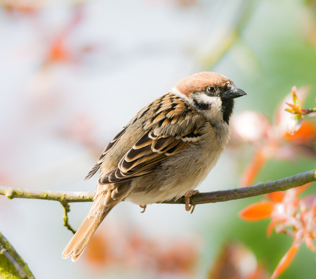 Closeup of an Eurasian Tree Sparrow sitting on a twig