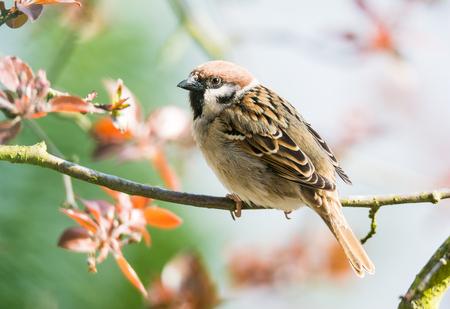 유라시아 나무 참새 나뭇 가지에 앉아의 근접 촬영