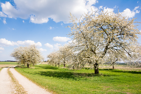 Landscape with a meadow and flowering fruit trees Stock Photo