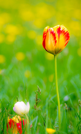 Spring scenic with tulips in a flower meadow