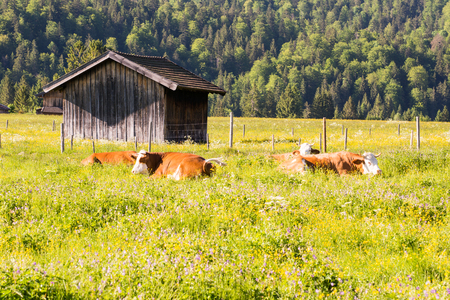 Organic farming wiht happy cows lying in a meadow Stock Photo