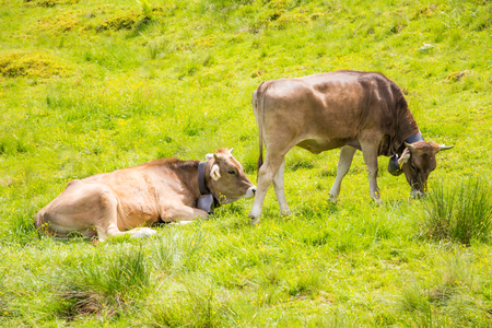 Organic farming wiht happy cows and their traditional cowbellon a pasture. Stock Photo