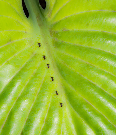 Ants crawling on the green leaf of a hosta plant