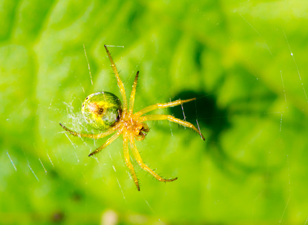 cucumber green spider in its web Stock Photo