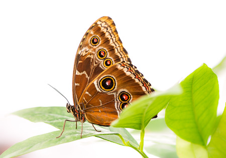 Macro of a Tropical Common Morpho butterfly Stock Photo