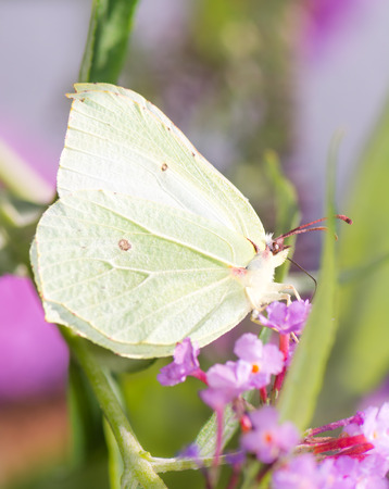 Brimstone butterfly sitting on the blossoms of a flower