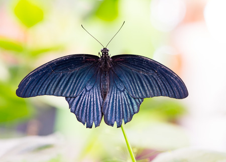 Macro of a tropical Great Mormon butterfly (Papilio Memnon) Stock Photo