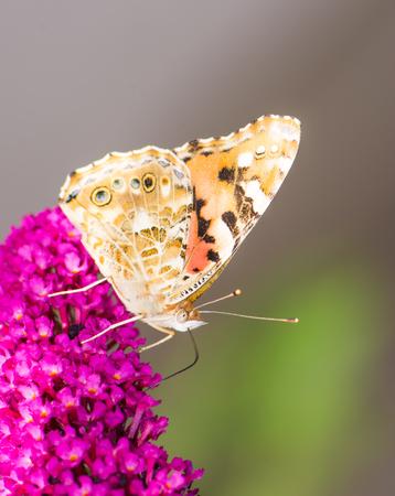 Macro di una farfalla dipinta che raccoglie nettare in un fiore di budleja Archivio Fotografico - 85452202