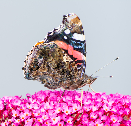 Macro di una farfalla dipinta che raccoglie nettare in un fiore di budleja Archivio Fotografico - 86677392