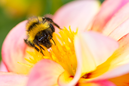 Macro of a bumblebee collecting nectar in a dahlia blossom
