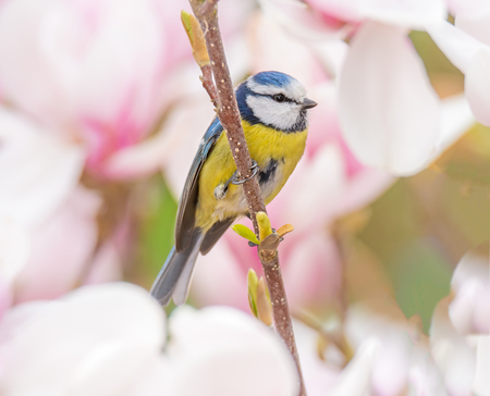 Blue tit bird sitting in a flowering Magnolia tree