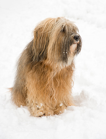 Long-haired tibetan terrier sitting in the snow Stock Photo