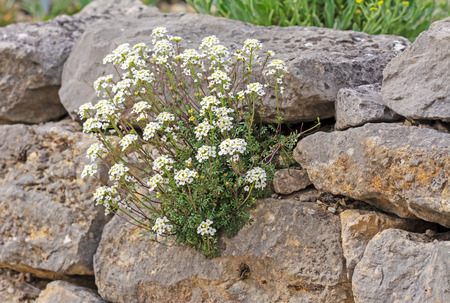 Rockery with white flowers at a stone wall