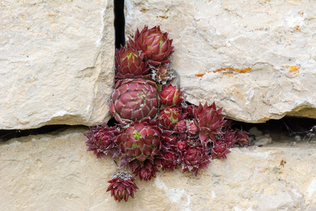 Red houseleek plant at a wall