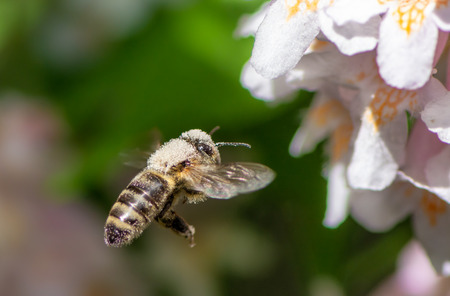 Honeybee flying to white a flower blossom