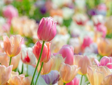Primavera scenica con un eccezionale fiore di tulipano in un'aiuola