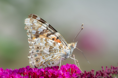Macro of a painted lady butterfly on a buddleia flower Archivio Fotografico - 109342516