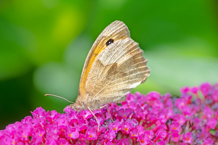 Macro of a Meadow Brown butterfly on a buddleia flower Archivio Fotografico - 109342969