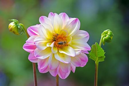 Closeup of bees at a dahlia flower blossom