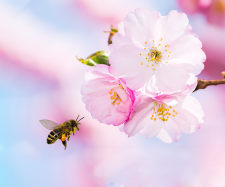 Bee full of pollen flying to pink cherry blossoms