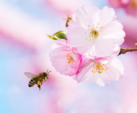 Bij vol stuifmeel dat naar roze kersenbloesems vliegt