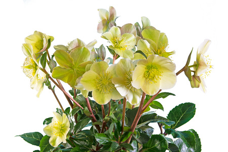 Closeup of an isolated yellow christmas rose flower with many blossoms Archivio Fotografico