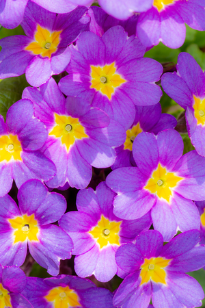 Floral background with closeups of purple pansy flower blossoms Imagens