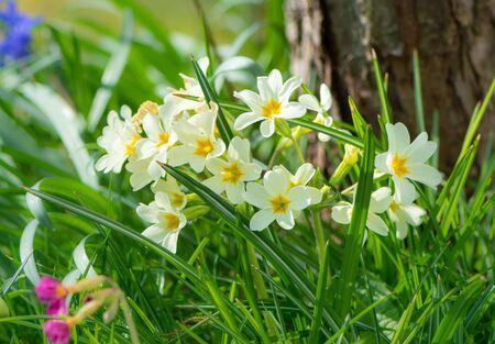 Closeup of yellow daffodils in the garden