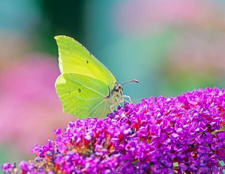 Brimstone butterfly on the blossoms of a buddleia bush Archivio Fotografico - 131918038