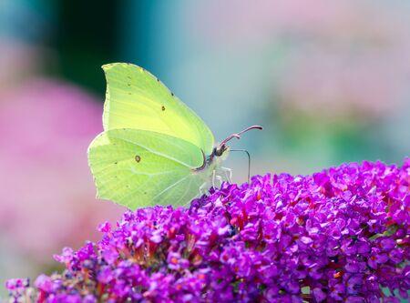 Brimstone butterfly on the blossoms of a buddleia bush Archivio Fotografico - 131918071